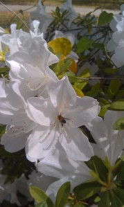 Azalea and bee, photo: Rick Sullins