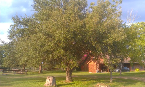My MIL planted this tree from an acorn back in 1983 when a tornado took out two other great trees.