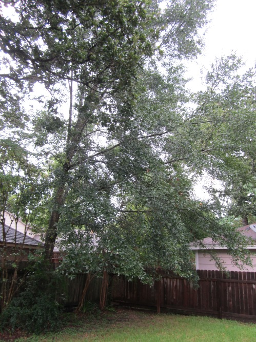 This tree came up from an acorn in the city house back yard back in '88.  Look at it now!