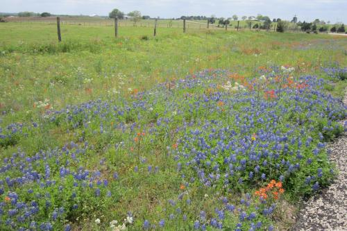Across the road, different textures with bluebonnets and Indian paintbrush.