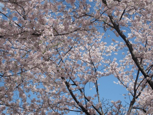 Beautiful cherry blossoms from Steve.