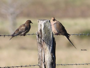 Mourning doves on barbed wire  photo credit: Rick Sullins