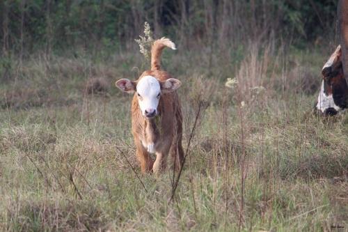 new calf 3