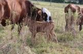 new calf 4