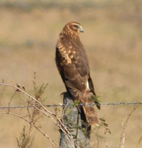 Hawk looking and resting photo credit: Rick Sullins