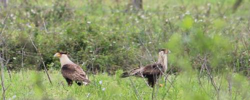 Two caracara, Mexican eagles in the back pasture. photo credit: Rick Sullins